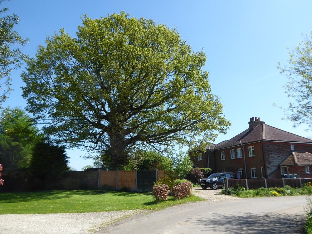 250-year-old Oak Tree on Rectory Road