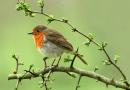 RSPB Birdsong List